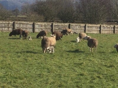 sheep in fiels